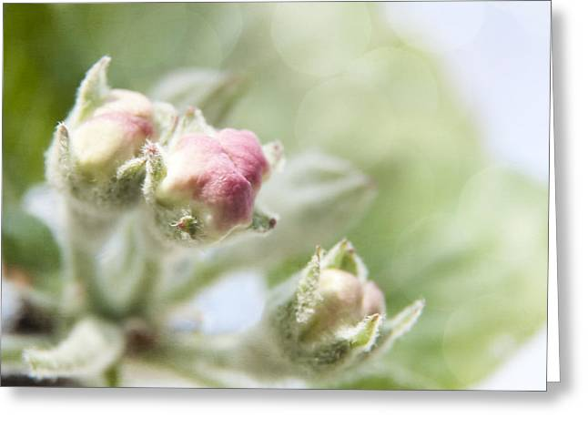 Apple Tree Blossom Greeting Card by Agnieszka Kubica