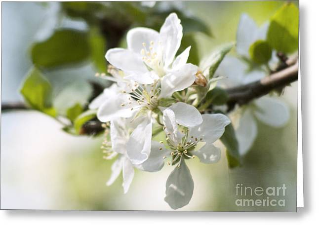 Apple Tree Flowers Greeting Card by Agnieszka Kubica