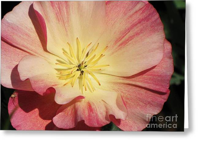 Greeting Card featuring the photograph Appleblossom California Poppy by Michele Penner