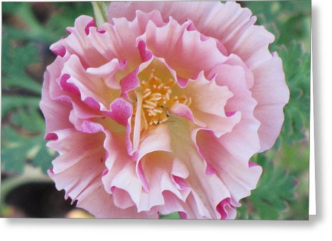 Greeting Card featuring the photograph Appleblossom Poppy by Michele Penner