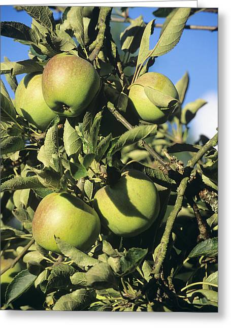 Apples Ripening On A Tree Greeting Card by David Aubrey