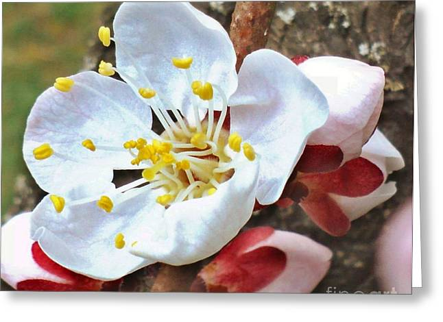 Apricot Bloom And Buds Greeting Card by Padre Art