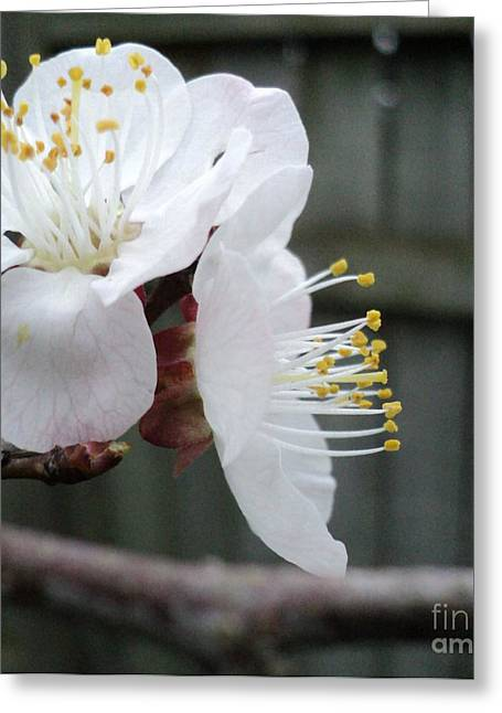 Apricot Blossom Profile Greeting Card by Padre Art