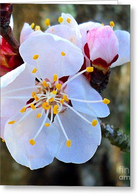 Apricot Flower And Veined Bud Greeting Card by Padre Art