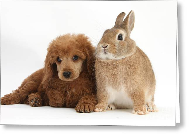 Apricot Miniature Poodle Pup With Rabbit Greeting Card by Mark Taylor