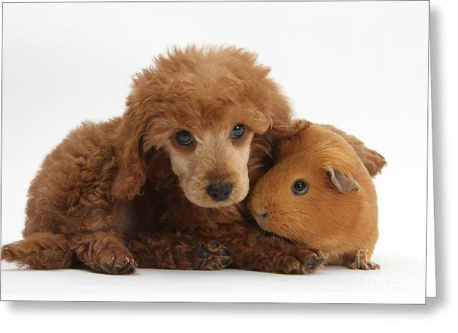 Apricot Miniature Poodle Pup With Red Greeting Card by Mark Taylor
