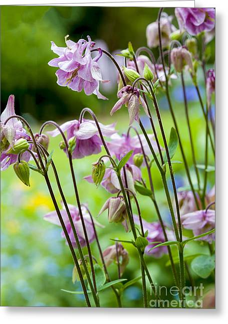Aquilegia In Spring Flowers Greeting Card by Donald Davis