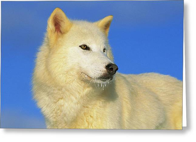 Arctic Wolf Canis Lupus Portrait Greeting Card