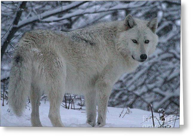 Arctic Wolf In Snowstorm Greeting Card
