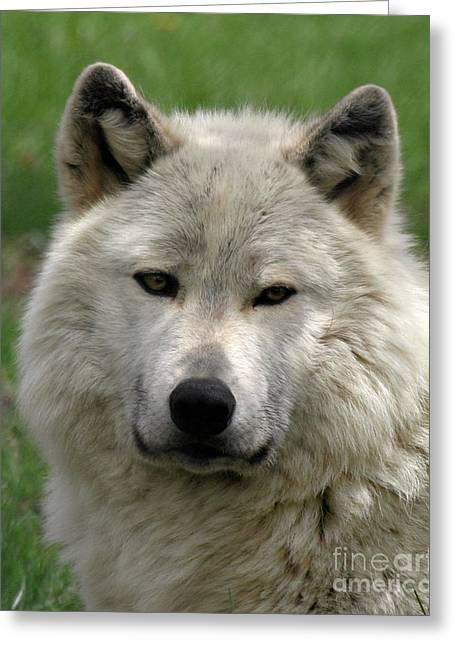 Arctic Wolf Portrait Greeting Card