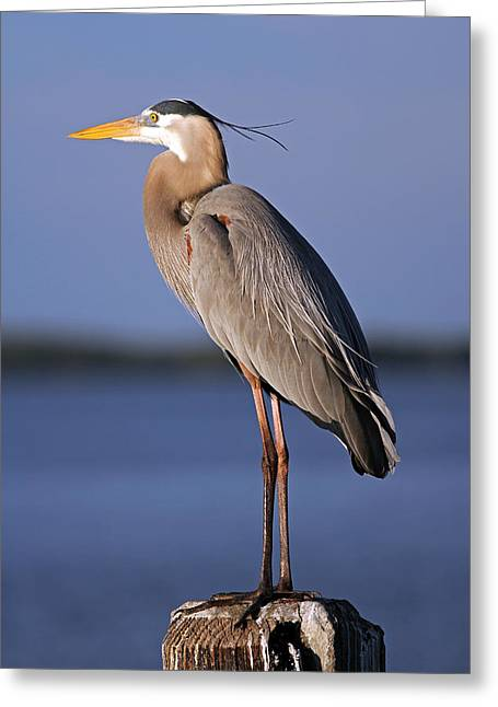 Ardea Herodias Greeting Card by Juergen Roth