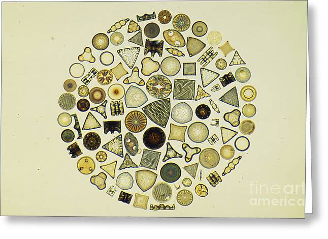 Arrangement Of Diatoms Greeting Card by M. I. Walker