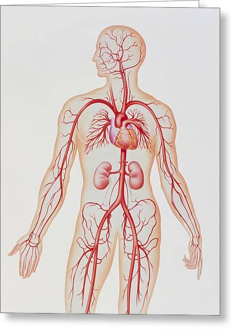 Artwork Of Human Arterial System Greeting Card by John Bavosi