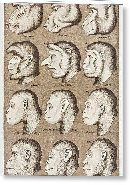 Artwork Of Twelve Catarrhines, 1870 Greeting Card by Mehau Kulyk