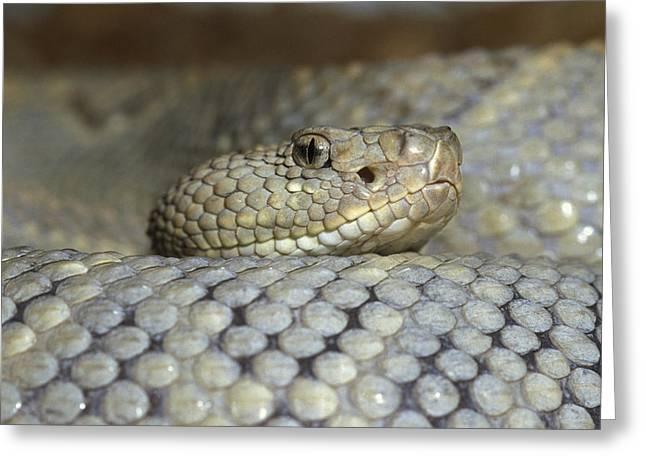 Aruba Rattlesnake Crotalus Unicolor Greeting Card by Gerry Ellis