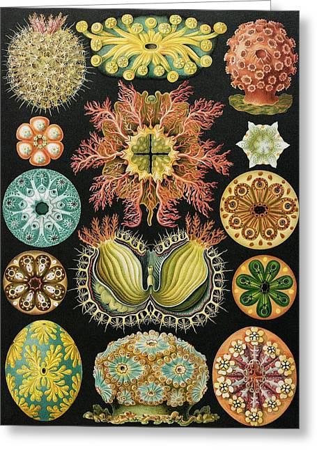 Ascidiae Organisms, Artwork Greeting Card