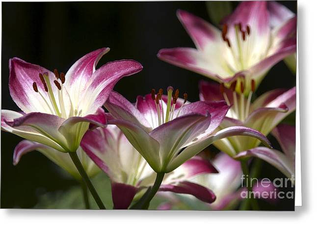 Asiatic Lilies Greeting Card