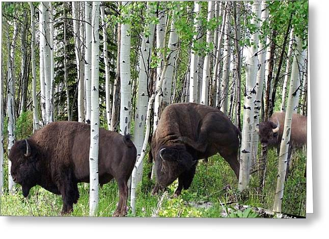 Aspen Bison Greeting Card by Bill Stephens