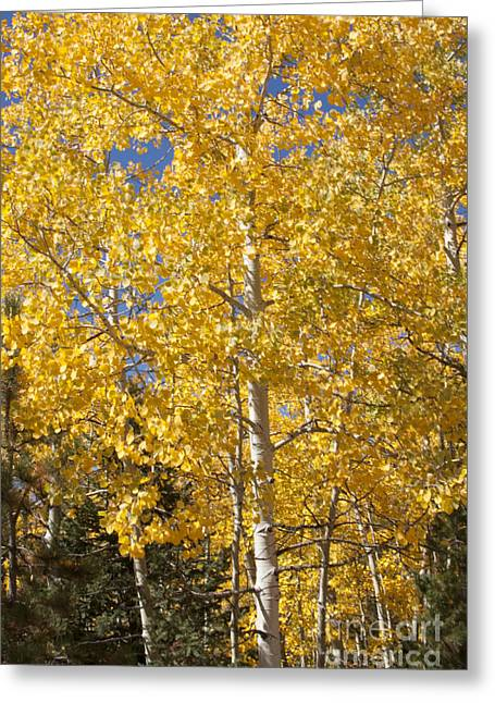 Aspen Gold Greeting Card by Marta Alfred