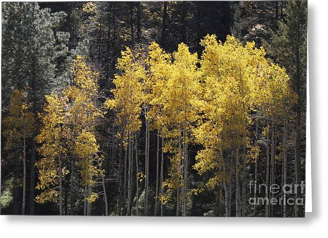 Aspen Gold Greeting Card