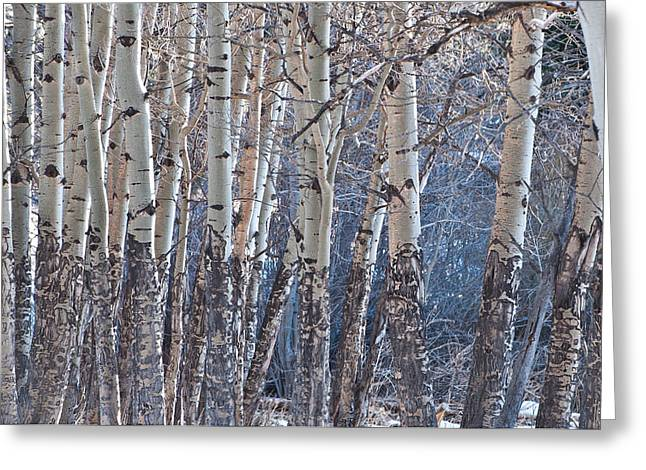 Aspen Grove Greeting Card by Colleen Coccia