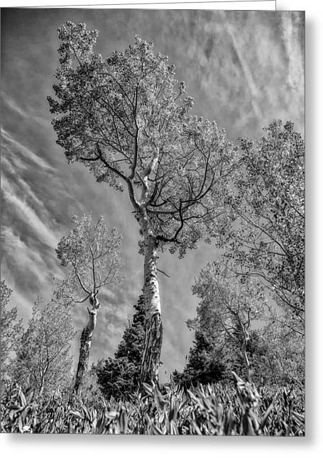 Aspen In The Sky Bw Greeting Card by Mitch Johanson