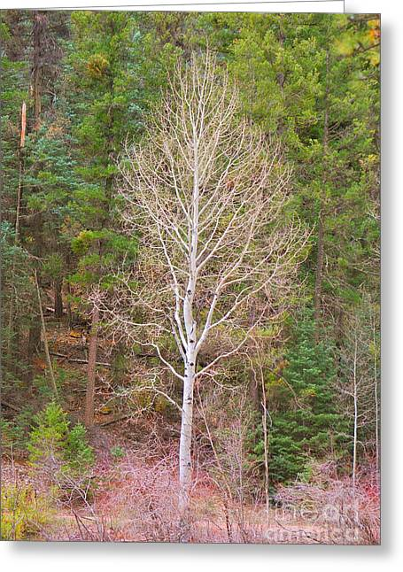 Aspen Tree Forest Road 249 Greeting Card by Donna Greene
