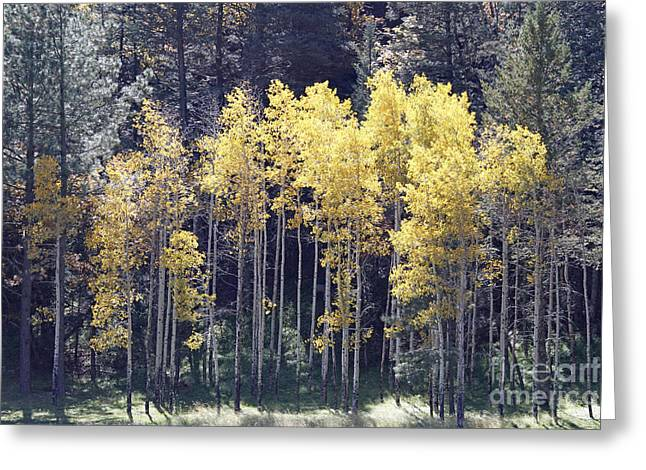 Aspens In Sunlight Greeting Card