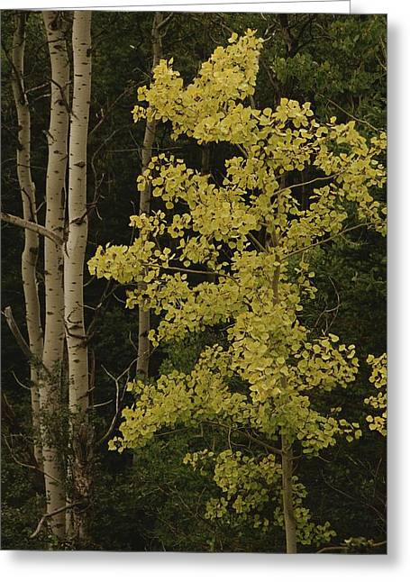 Aspens Stand Tall In This Woodlands Greeting Card by Raymond Gehman