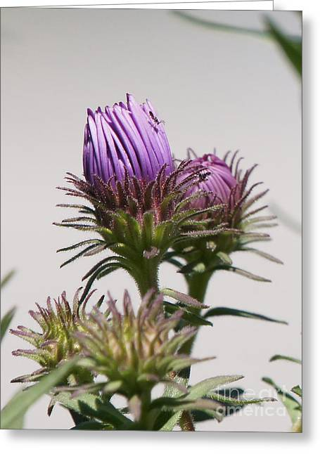 Asters Ready To Bloom Greeting Card