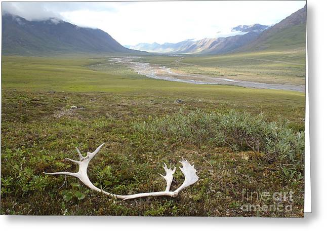 Atigun Valley Caribou Shed Greeting Card by Adam Owen