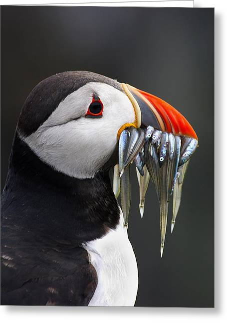 Atlantic Puffin Fratercula Arctica Greeting Card by Wim Klomp
