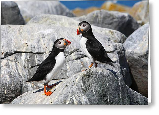 Atlantic Puffins Greeting Card by Bruce J Robinson