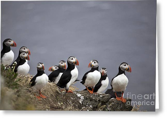 Atlantic Puffins On Cliff Edge Greeting Card by Greg Dimijian