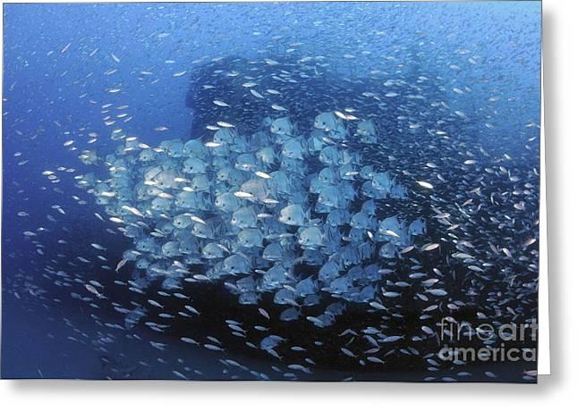 Atlantic Spadefish And Baitfish School Greeting Card