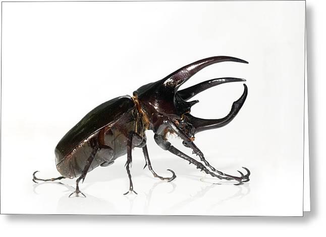 Atlas Beetle Greeting Card by Chris Hellier
