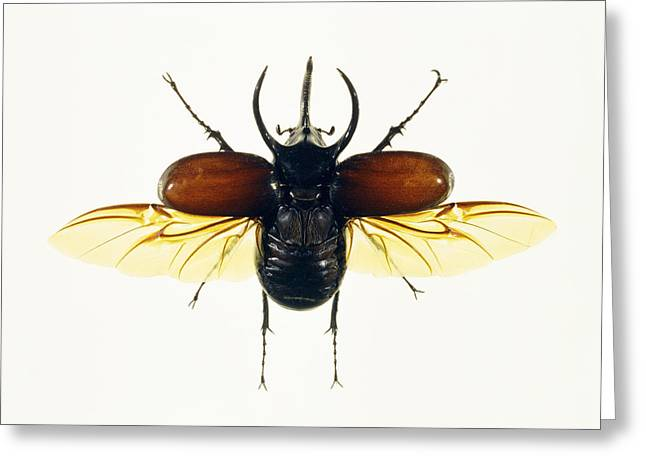 Atlas Beetle Greeting Card by Lawrence Lawry