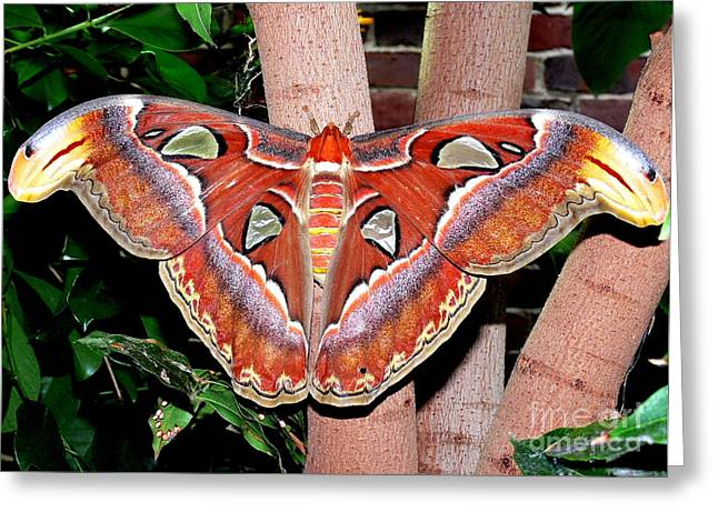 Atlas Moth Greeting Card by Kevin Fortier