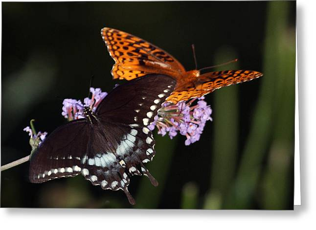 August Butterflies Greeting Card by Kathryn Mayhue