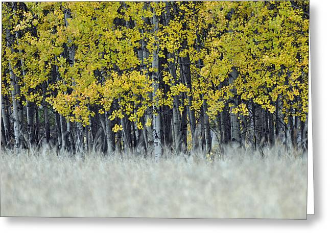 Autumn Aspen Grove Near Glacier National Park Greeting Card