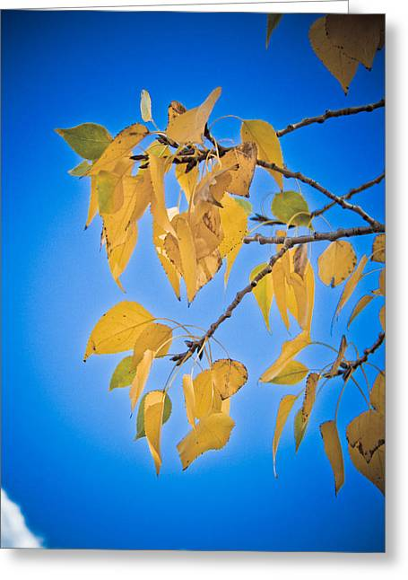 Autumn Aspen Leaves And Blue Sky Greeting Card by James BO  Insogna