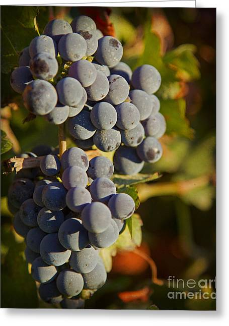 Autumn Grapes On A Vineyard Branch In The Fields At A Winery In  Greeting Card by ELITE IMAGE photography By Chad McDermott