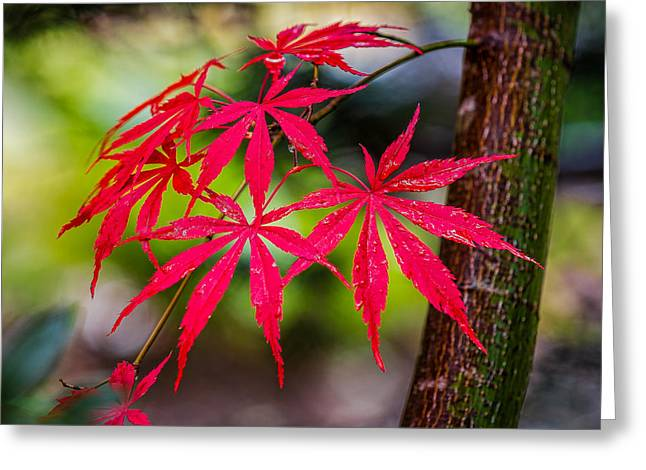 Autumn Japanese Maple Greeting Card by Ken Stanback