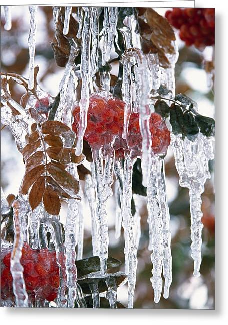 Autumn Leaves Covered In Ice Greeting Card by Natural Selection Craig Tuttle