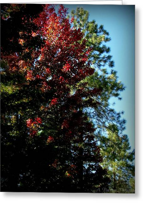 Autumn Maple And Ponderosa Pines Greeting Card by Aaron Burrows