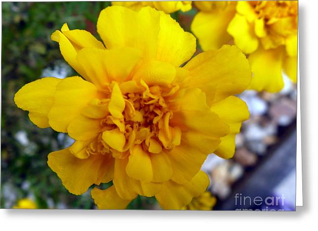 Autumn Marigold 1 Greeting Card by Alys Caviness-Gober