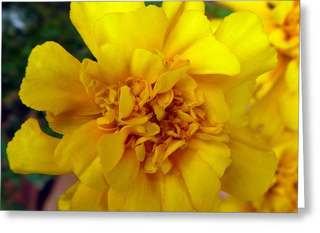 Autumn Marigold 2 Greeting Card by Alys Caviness-Gober