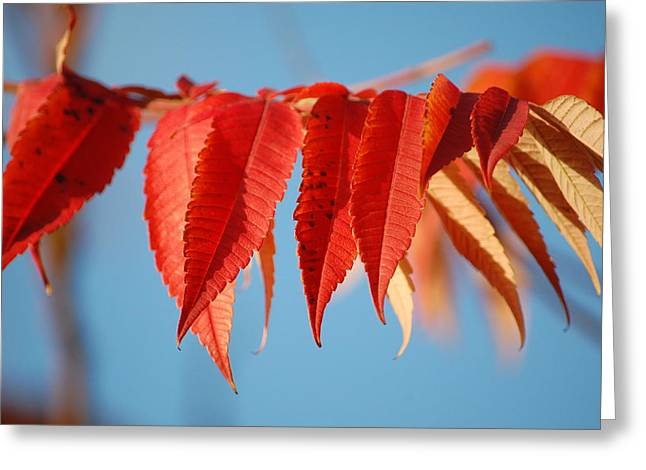 Autumn Scarlet Greeting Card by Dickon Thompson