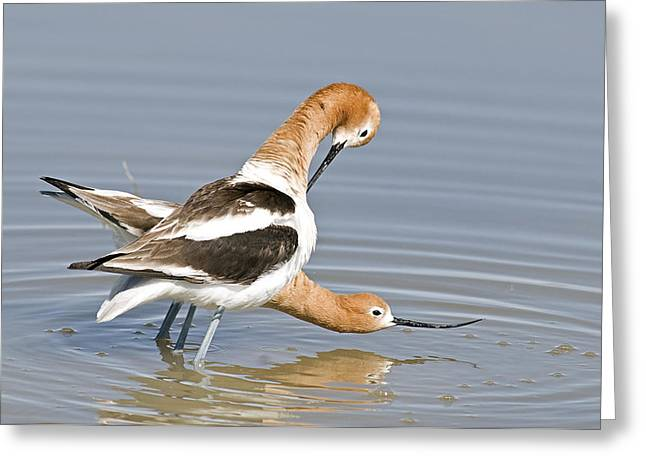 Avocets Couple Greeting Card by Earl Nelson