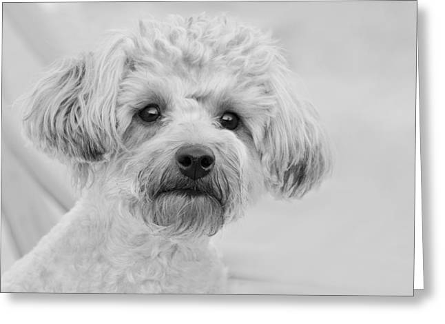 Awesome Abby The Yorkie-poo Greeting Card by Kathy Clark